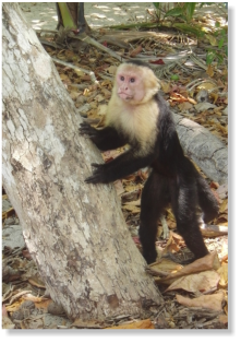 Affe im Manuel Antonio Nationalpark